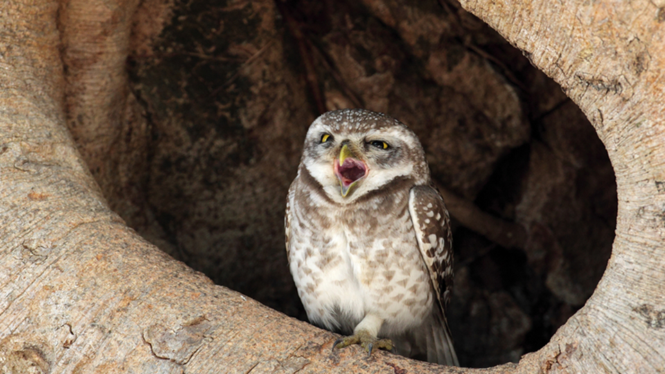 Click here to read The Drastic Plan to  Save the Spotted Owl By Massacring Other Owls and Trees